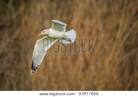 Herring gull Larus argentatus flying in front of reeds