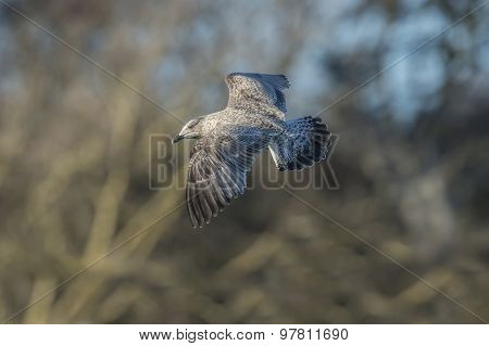 Herring gull Larus argentatus juvenile in flight close-up