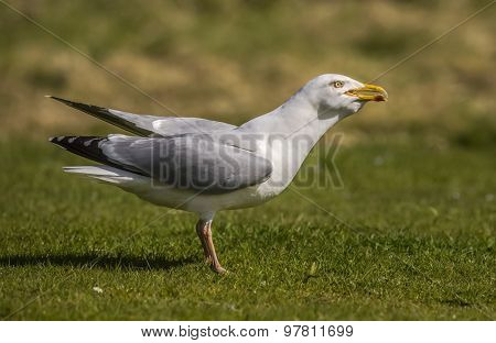 Herring gull Larus argentatus on the grass close up
