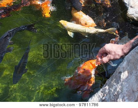 Karp Fish Feeding