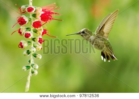 Hummingbird Flying Over Green Background