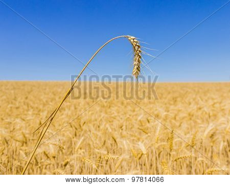 Spikelet Of Wheat