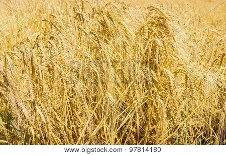 Ripe Barley Closeup