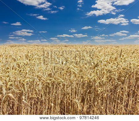 Wheat Field Against The Sky Closeup