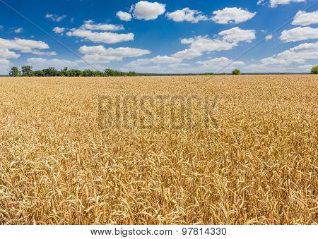 Wheat Field Against The Trees And Sky With Clouds