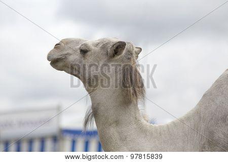 White Dromedary Camel