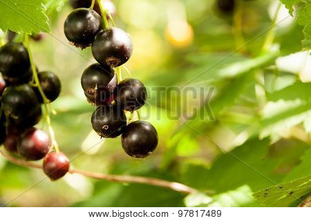 Black currant In The Garden