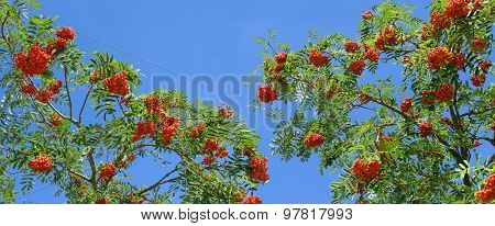 Ripe rowanberries on a rowan tree