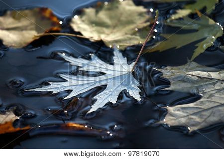 Autumn Leaf Lies In A Puddle