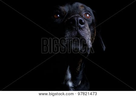 Labrador_Pet_Pitbull
