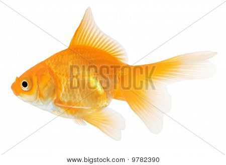 Goldfish Isolated On White Background