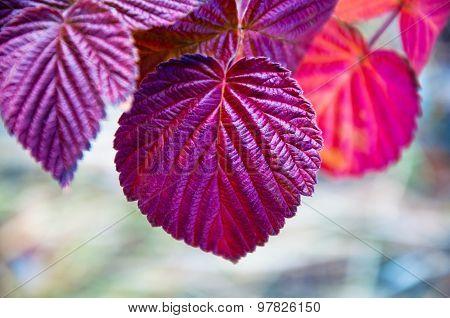 Autumn Leaves Of Raspberry