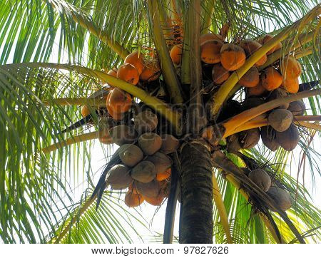 Ripe coconuts on top of the tree. Philippines.