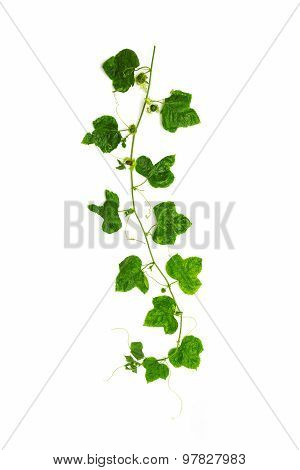 Collage Of Vine Leaves On White Background.