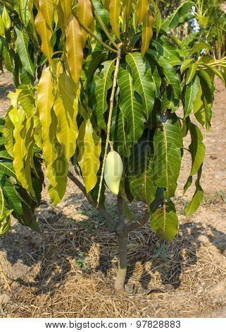 Close up of mangoes on a mango tree