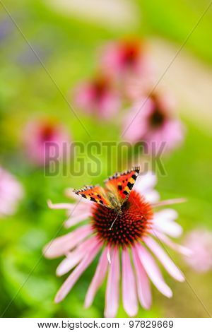 Colorful butterfly on flower purple coneflower (Echinacea)