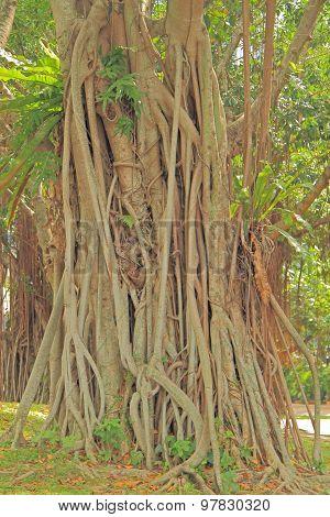 banyan tree in Kuala Lumpur