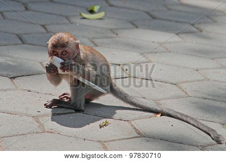 baby macaque is licking a spoon