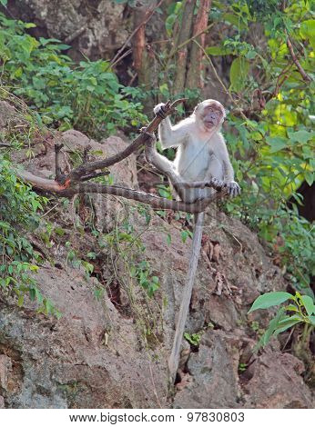 macaque with long tail is sitting on a tree