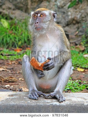 monkey with piece of coconut