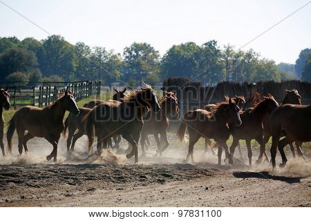 Herd Of Horses Gallops Through The Ranch In Sunset
