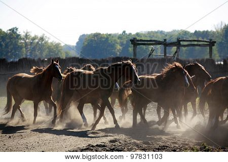 Herd Galloping Across The Horse Farm When The Sun Goes Down