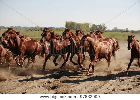Herd Of Horses Running Throgh The Desert Summertime