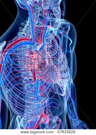 the human vascular system -
