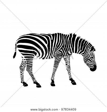 Black and white zebra isolated on white. Vector