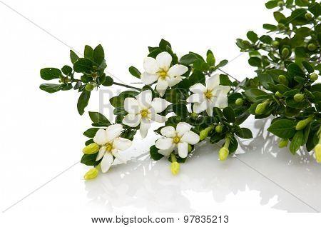 Branch gardenia