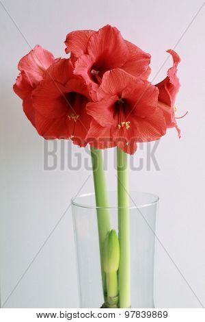 Bouquet d'amaryllis
