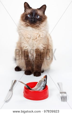 Humor Cute Balinese cat with blue eyes eating