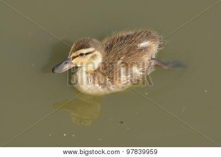 Lone Mallard Duck Duckling