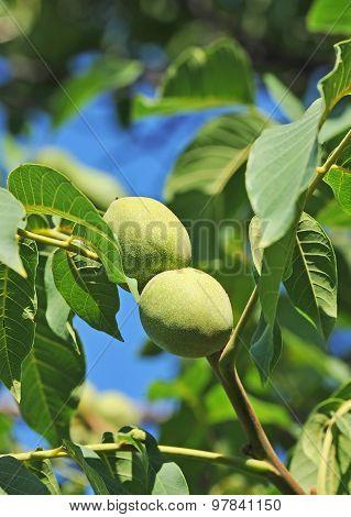 Walnut tree (Juglans regia) with fruit