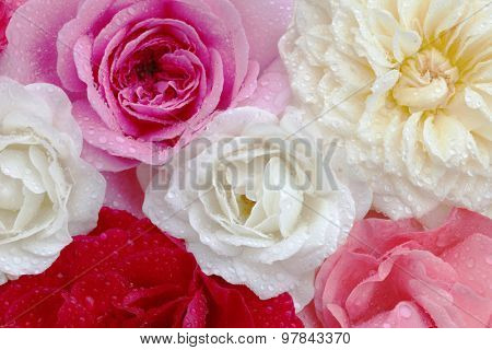 Roses in different colors