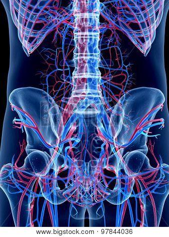 the human vascular system -