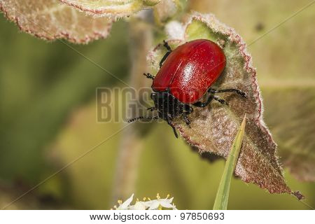 Red poplar leaf beetle (melanosoma Populi)