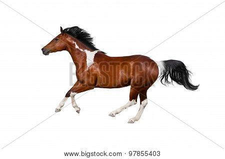 Pinto horse in white