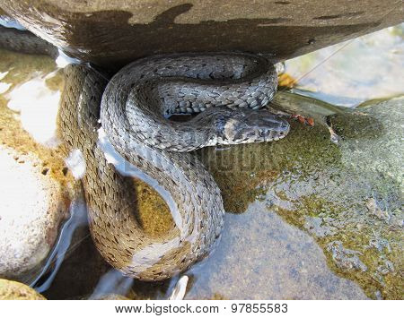 Grass snake under the stone