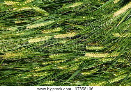 Laying Down Straws Of Barley