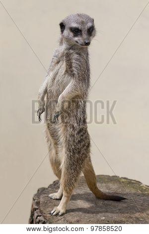 Cute Meercat Against A Plain Background