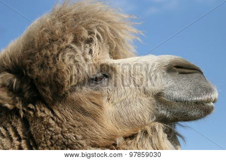 Portrait Of A Camel In The Sky