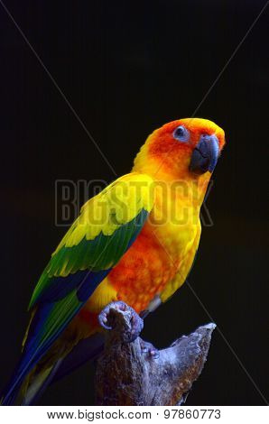 Sun Parakeet Sit On A Tree Brance