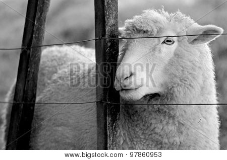 Portrait Of A Sheep Stand Behind A Fence Of A Sheep Farm