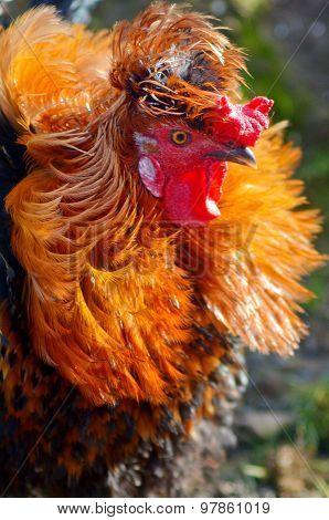 Portrait Of A Proud Colorful Rooster