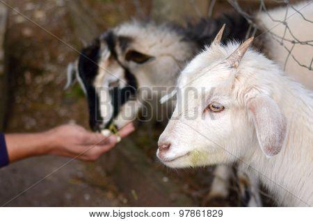 Man Hand Feed Two Kid Goats Food