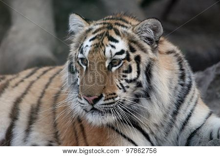 Portrait Posing Tranquil And Beautiful Tiger