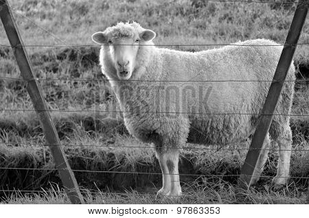 Sheep Stand Behind A Fence Of A Sheep Farm