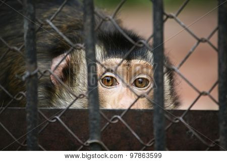The Monkey Looks Out Of The Cage