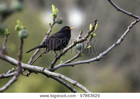 Blackbird Sitting In A Tree